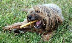 Eluohtlik amps: magusaine, mis võib koera tappa