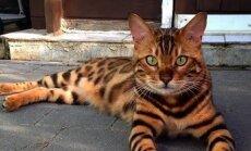 SAA TUTTAVAKS: Haruldane kass, kes näeb välja nagu Bengali tiiger