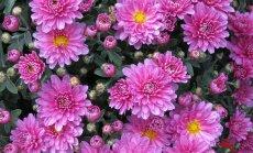 Miks soetada aeda kaunistama just krüsanteem?