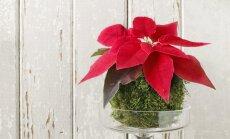 Tehke jõulutähele samblapallist kaunis pesa