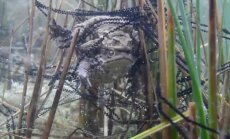 KAAMERAGA VEE ALL: Isased kärnkonnad võitlevad paljunemisõiguse pärast