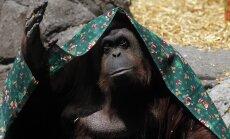 Orangutan sai Argentina kohtu otsusel endale inimõigused