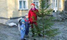 Pajuvärava jõulublogi: Just äbarik puu on selline jõulupuu, mille mina metsast otsin