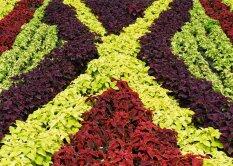 Kirinõgestest saab kujundada eriti värvikaid lillevaipu.