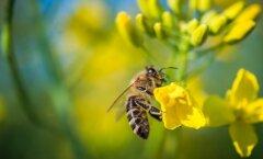 Mesilase mürk on ohtlik allergeen