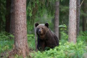 GRAAFIK | Saku rahvarohkete terviseradade lähedal seikleb karu