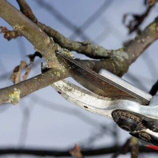 HÜVA NÕU | Kas viljapuid võib praegu veel lõigata?