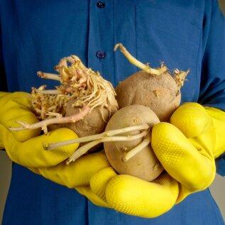 Kuidas poest ostetud kartuleid nii säilitada, et need mürgiseks ei muutuks?