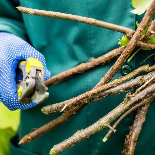 NIPID JA NÕUANDED   Kuidas lõigata kevadel sõstra- ja karusmarjapõõsaid