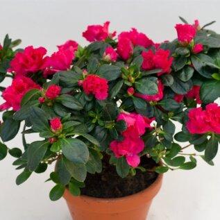 9.Simsi rododendron ehk asalea
