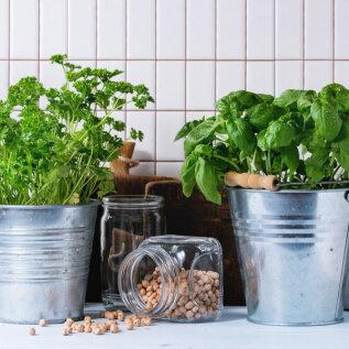 Need maitse- ja ravimtaimed sobivad kasvatamiseks ka aknalaual ja on suurepärased salati ning pesto osana! Lisatud retseptid!