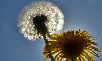 NÕUANNE: Kuidas toime tulla õietolmu allergiaga?