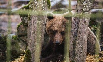 Arukülas ründas haavatud karu eile jahimeest. Järgnes käsitsivõitlus, mille lõpetas noahoop