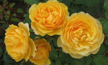 Kullakarvaline roosipeenar