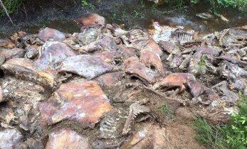Мобильный крематорий для уничтожения зараженных чумой свиней использовать не будут