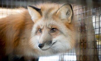 Teadlased kutsuvad EL liikmesriike üles karusloomafarme keelustama