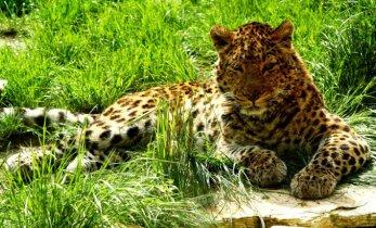 Kuidas jälitada leopardi?