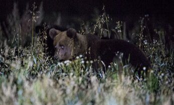 VIDEOD: Karud teevad metsas enda vormis hoidmiseks postitantsu