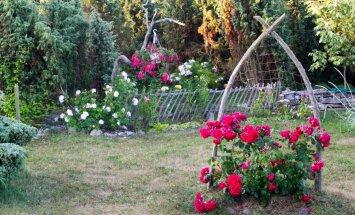 Ülo Tohv koduaed, roosid