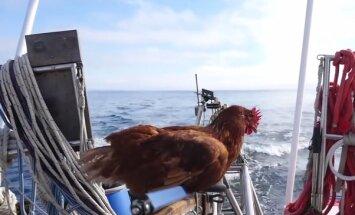 VIDEO: Imeline lugu! Kana seilab oma inimesega ümber maailma, oskab surfata ja kala püüda