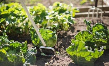 Kasvata õigeid taimi koos, et saada suurepärast saaki