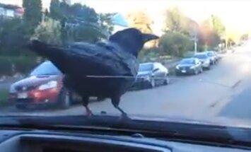 VIDEO: Lendamisest tüdinud: Vares naudib sõitu autoaknal tasaalu hoides