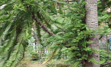 Sünnipäevalapse juures näeb haruldast puud volleemiat