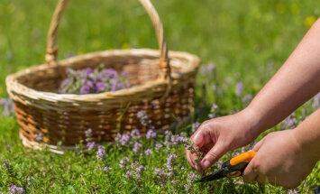 Taimetarkus | Milliseid ravimtaimi korjata juulis ja augustis?