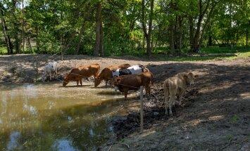 Ilse Gošovski, Aedevahe talu, Harjumaa , maatõugu lehmad, piim
