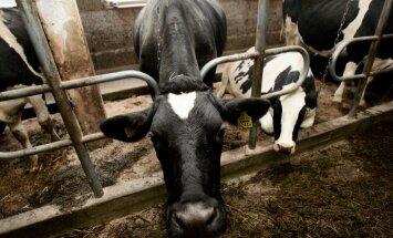 Kruuse: enamik piimakarjadest hakkab saama suuremat toetust