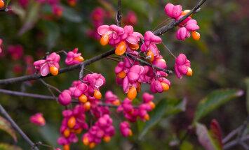 Vaata, milline sügisilu peitub kikkapuu seemnekupardes