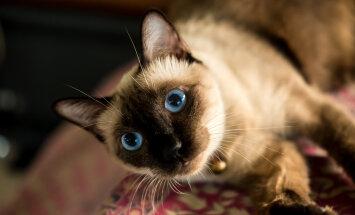 5 fakti, mida sa siiami kasside kohta ilmselt varem ei teadnud