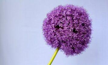 HÜVA NÕU: Kuidas koduaias lauke paljundada?