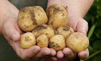 Aeg hakata talvevarusid koguma: vali kartulisort vastavalt pere toitumisharjumustele