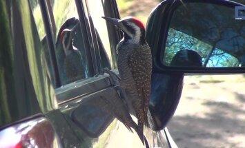 Humoorikad kaadrid: uudishimulik rähn imetleb autoklaasil oma peegelpilti