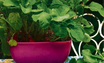 IDEE: kasvata köögilaual vitamiinirikas redisepomm