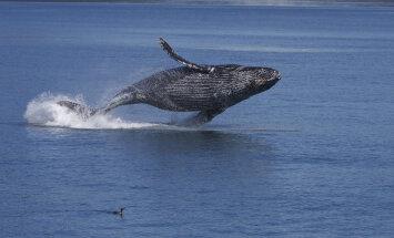Vette plartsatamine on osa vaaladevahelisest kõnekeelest