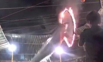 Jahmatav VIDEO: Mis elu elavad rändtsirkustes esinevad delfiinid?