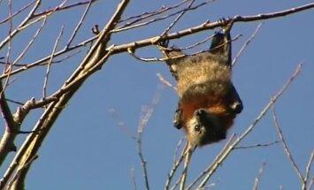 VIDEO: Austraalia väikelinna vallutas nahkhiirte hord