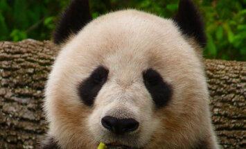 Häid uudiseid! Armastatud hiidpanda ei ole enam väljasuremisohus liikide seas!
