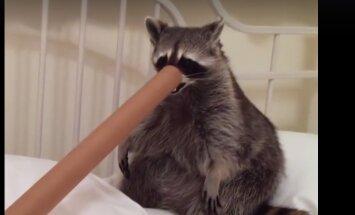 VIDEO: See päästetud pesukaru on veendunud, et ta on koer