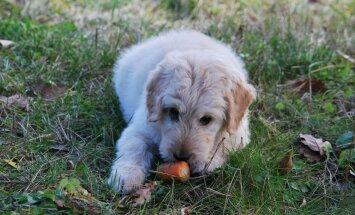 Tervislikud ampsud: köögiviljad, mis hoiavad sinu koera terve ja tugevana