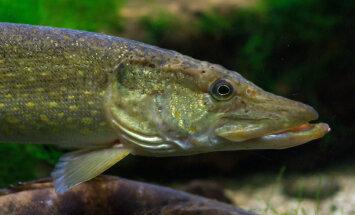 Kui pikk on haugi mälu? Ja kaladel üldse?
