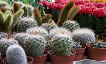 Andke kaktustele talvel puhkust