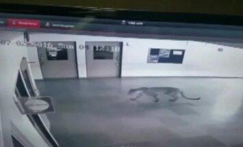 Indias tungis leopard koolimajja ning tekitas seal kaose