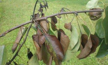Kuidas ära tunda puude ja põõsaste ohtlikke kahjustajaid?