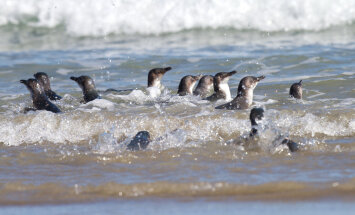 VIDEO: Uus-Meremaa pingiviinikolooniale ehitati esimene omataoline tunnel