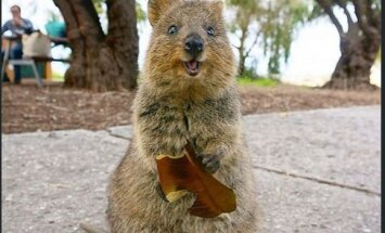 Quokka: kes on see õnneliku naeratusega loomake, kellest on saanud sotsiaalmeedia lemmik?