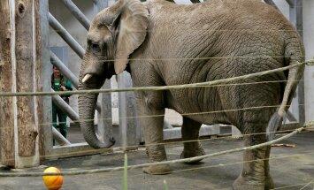 Tallinna Loomaia elevandid ja kõrvitsad