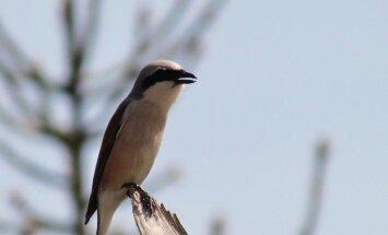 Leili metsalood: Võsavirnade kohta võiks ka linnurahu aeg kehtida